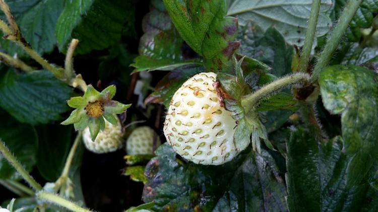 Fragaria ananassa 'Snow White'